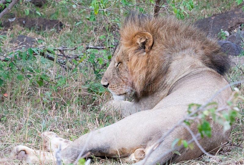 El dormir masculino del león fotografía de archivo libre de regalías