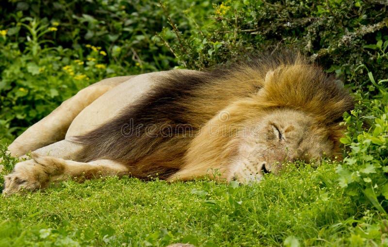 El dormir masculino del león fotografía de archivo