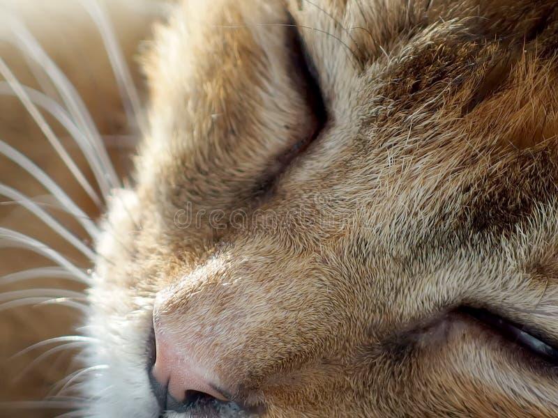 El dormir soñoliento del gato fotos de archivo libres de regalías
