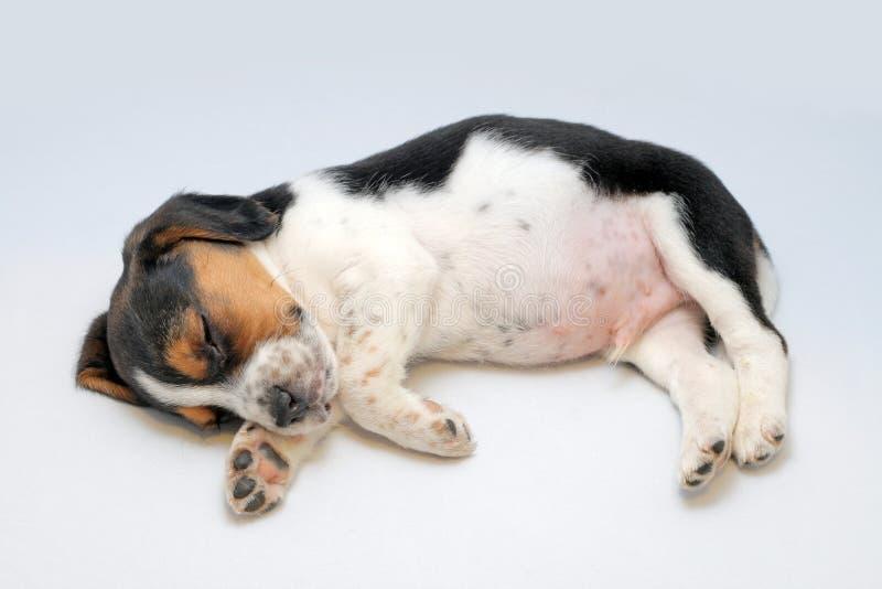 El dormir tricolor del perrito del beagle foto de archivo libre de regalías