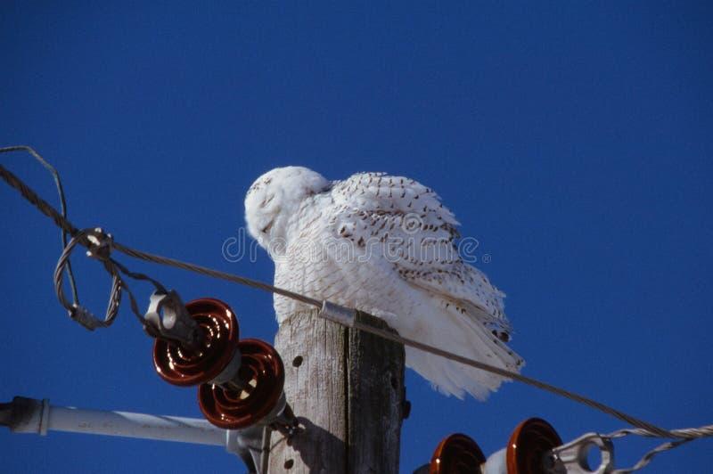 El dormitar Nevado Owl Perspective foto de archivo libre de regalías