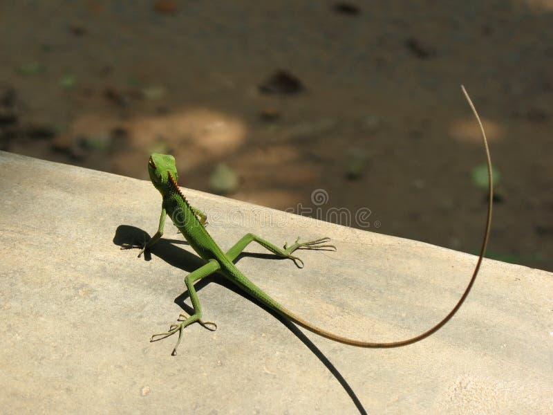 El dragón fotos de archivo