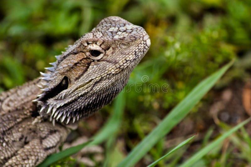 El dragón barbudo local imagenes de archivo