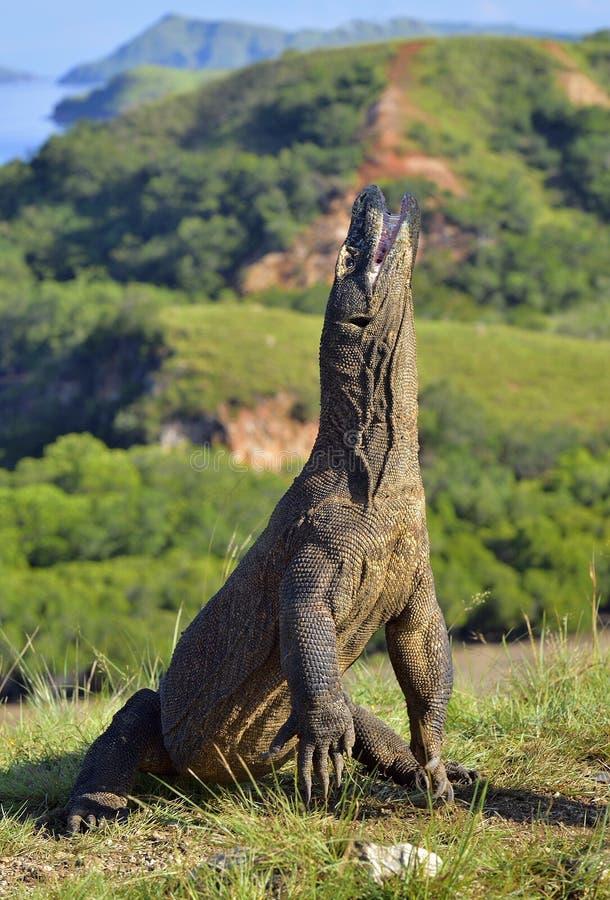 El dragón de Komodo imágenes de archivo libres de regalías