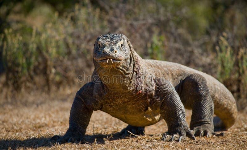El dragón de Komodo está en la tierra indonesia Parque nacional de Komodo imagenes de archivo
