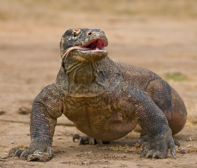 El dragón de Komodo está en la tierra indonesia Parque nacional de Komodo fotografía de archivo libre de regalías