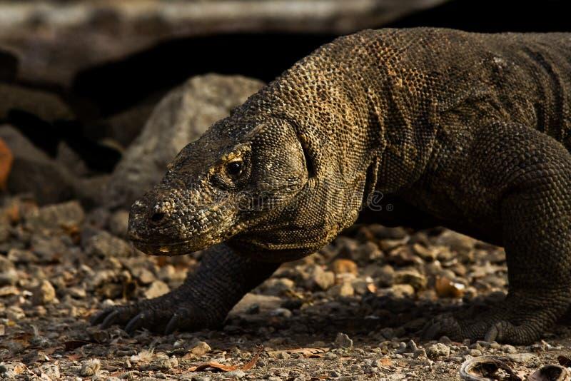 El Dragón De Komodo Recorre En La Salida Del Sol Foto de archivo
