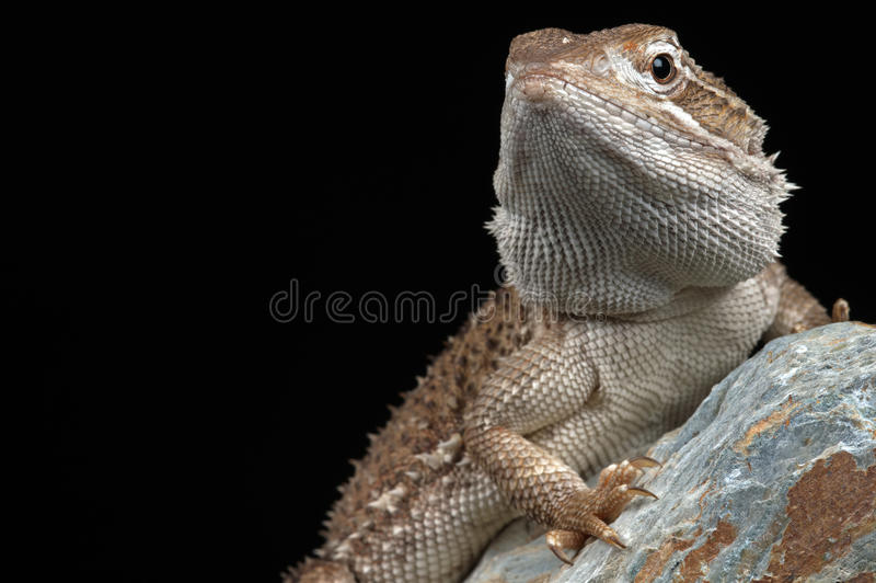El dragón de Rankin (Pogona Henrylawsoni) foto de archivo libre de regalías