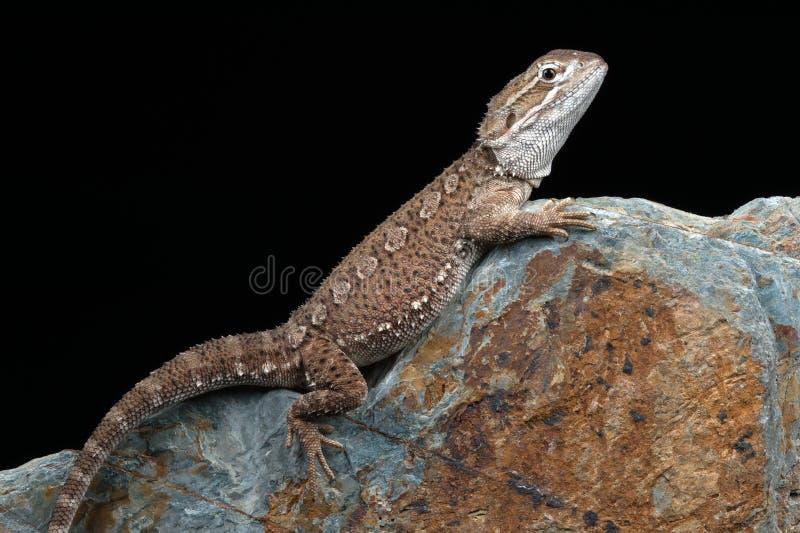 El dragón de Rankin (Pogona Henrylawsoni) imagen de archivo libre de regalías