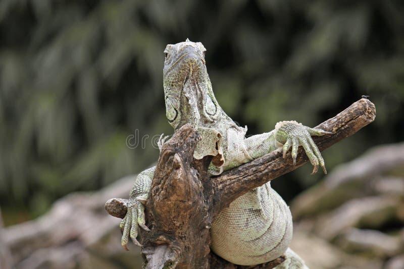 El dragón poderoso de la iguana o de komodo consigue caliente en el Sun foto de archivo