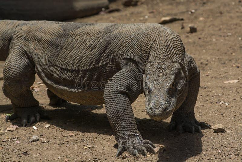 El dragón se está preparando para atacar, isla de Rinca, Indonesia fotografía de archivo