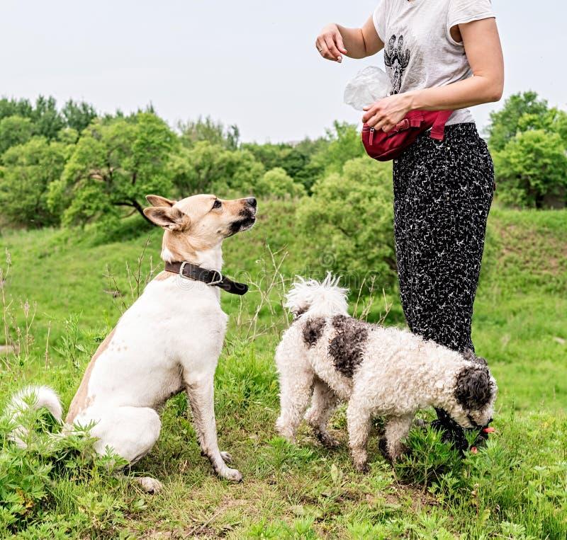 El dueño entrena a su perro y da un aire libre del bocado en el parque en un día de verano imagen de archivo libre de regalías