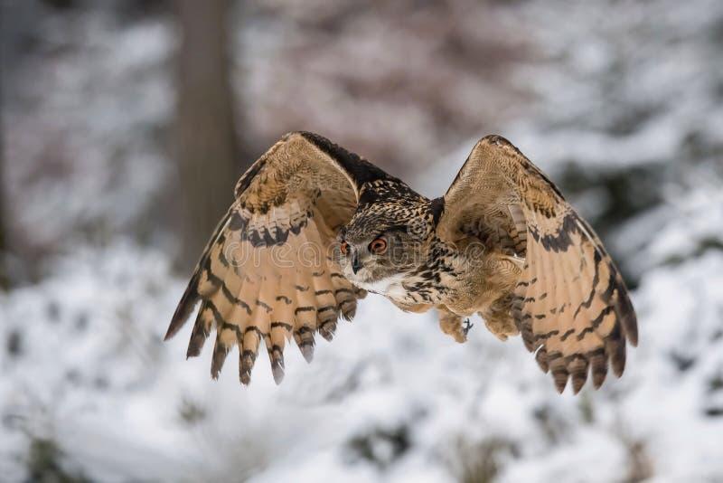El Eagle-búho eurasiático, bubón del bubón imágenes de archivo libres de regalías