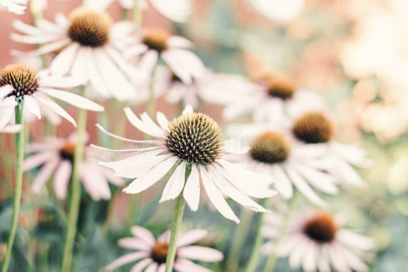 El Echinacea Coneflower es una hierba médica natural para la salud imagen de archivo libre de regalías