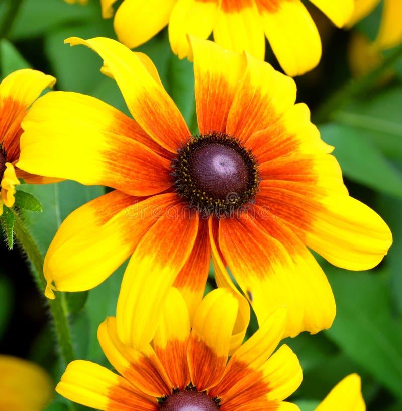 El Echinacea es un g?nero, o grupo de plantas florecientes herb?ceas foto de archivo