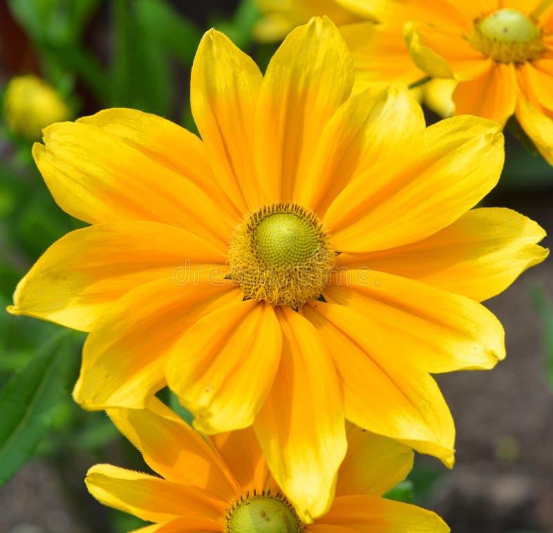 El Echinacea es un g?nero, o grupo de plantas florecientes herb?ceas en la familia de la margarita El género del Echinacea tiene  fotos de archivo libres de regalías