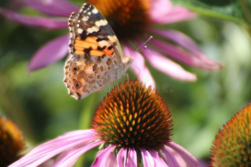 El Echinacea Purpurea o el coneflower púrpura del este en el jardín con las flores y la porción púrpuras de insectos le gusta abe imagen de archivo libre de regalías