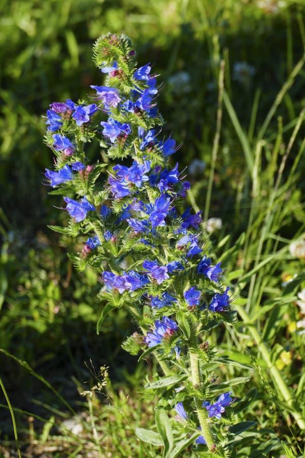 El Echium principal Vulgare de la víbora común, con el flor azul imagen de archivo libre de regalías