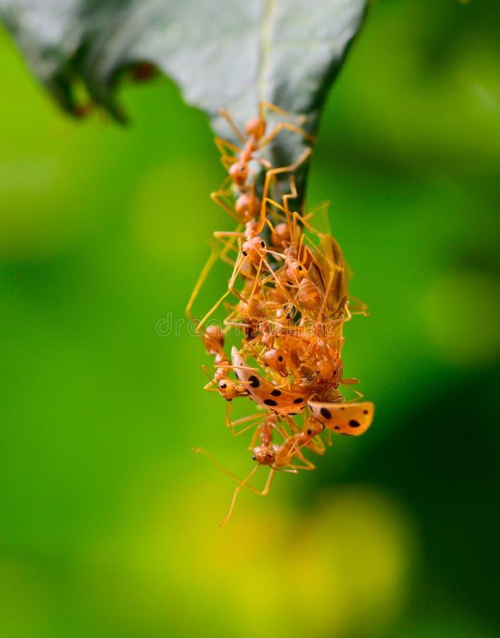 El ejército rojo de la hormiga está pululando la mariquita para la comida fotos de archivo libres de regalías
