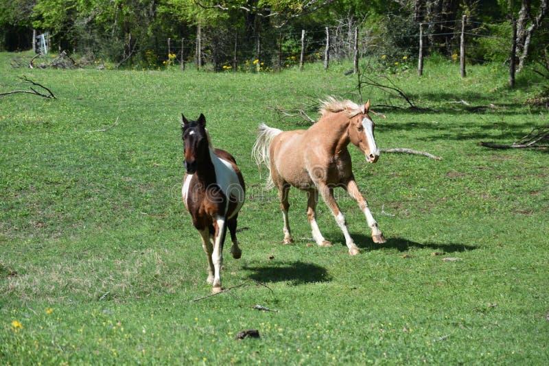 El ejecutarse de dos caballos imagen de archivo libre de regalías