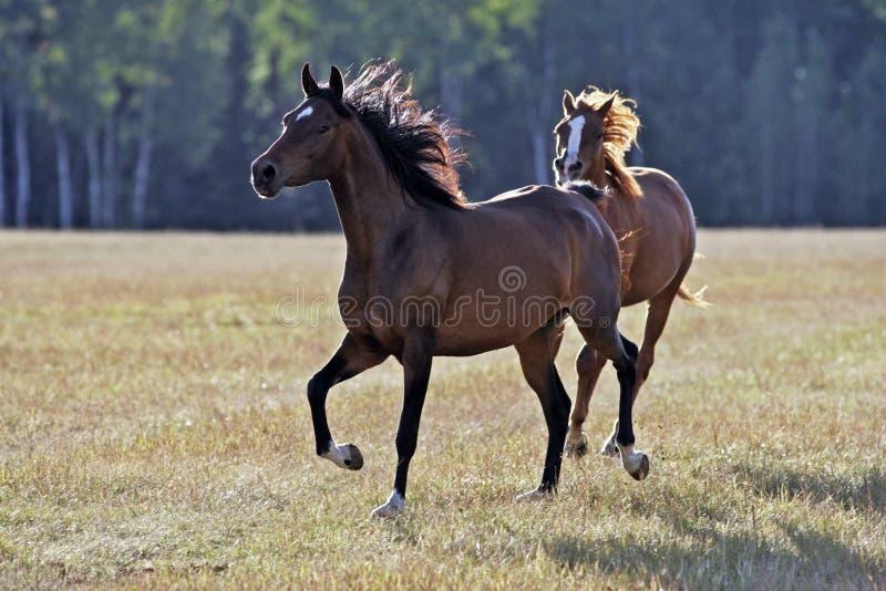 El ejecutarse de dos caballos foto de archivo