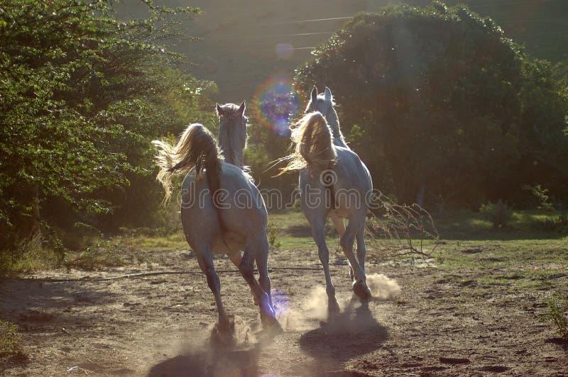 El ejecutarse de los caballos imagen de archivo libre de regalías