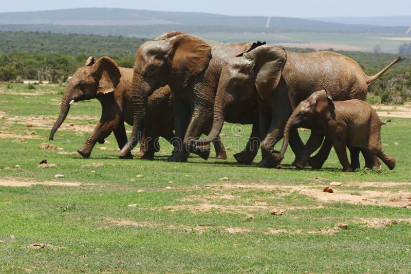 El ejecutarse de los elefantes imagenes de archivo