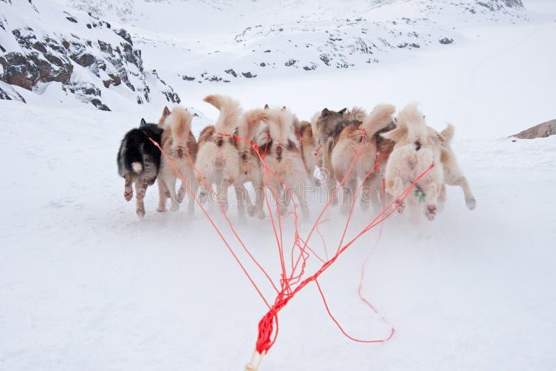 El ejecutarse groenlandés de los perros de trineo fotos de archivo libres de regalías