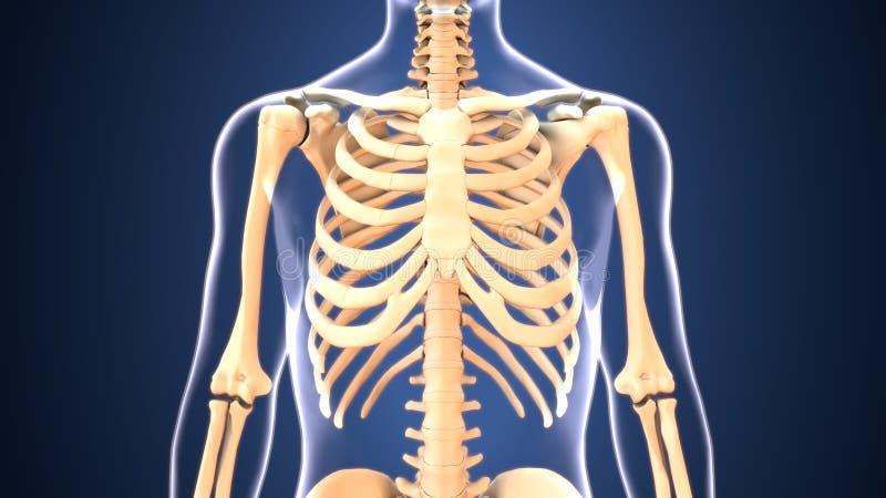 El Ejemplo 3d Del Esqueleto Provee De Costillas La Anatomía Stock de ...
