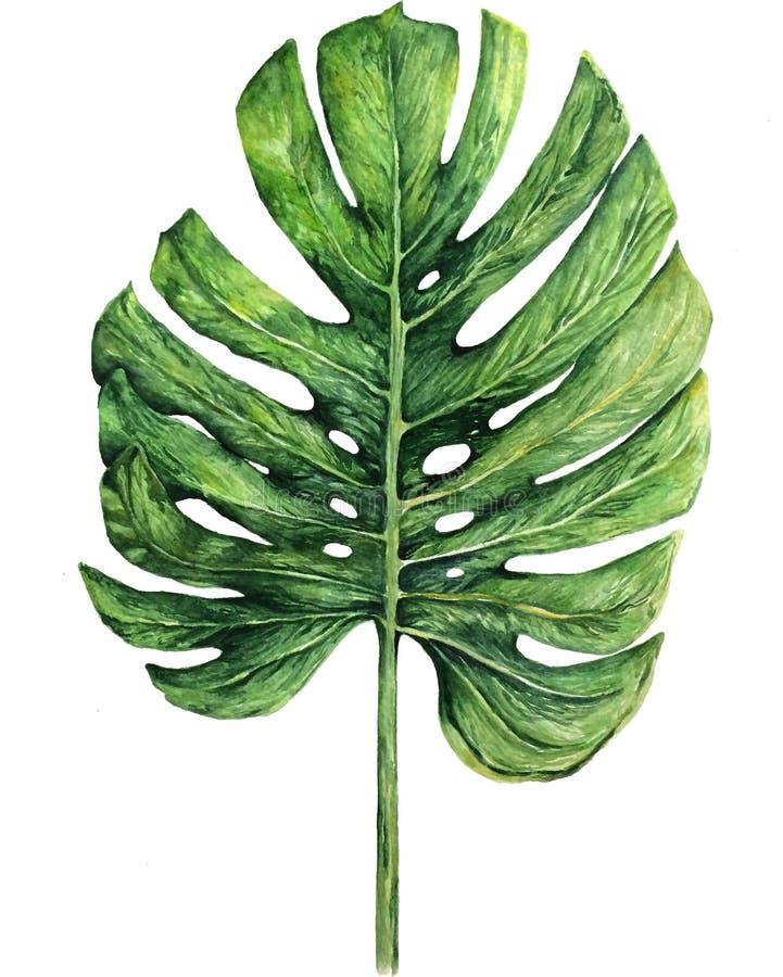 El ejemplo de la acuarela del monstera tropical del boho se va en el fondo blanco libre illustration
