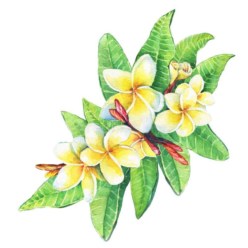 El ejemplo del centro turístico tropical florece plumeria del frangipani ilustración del vector