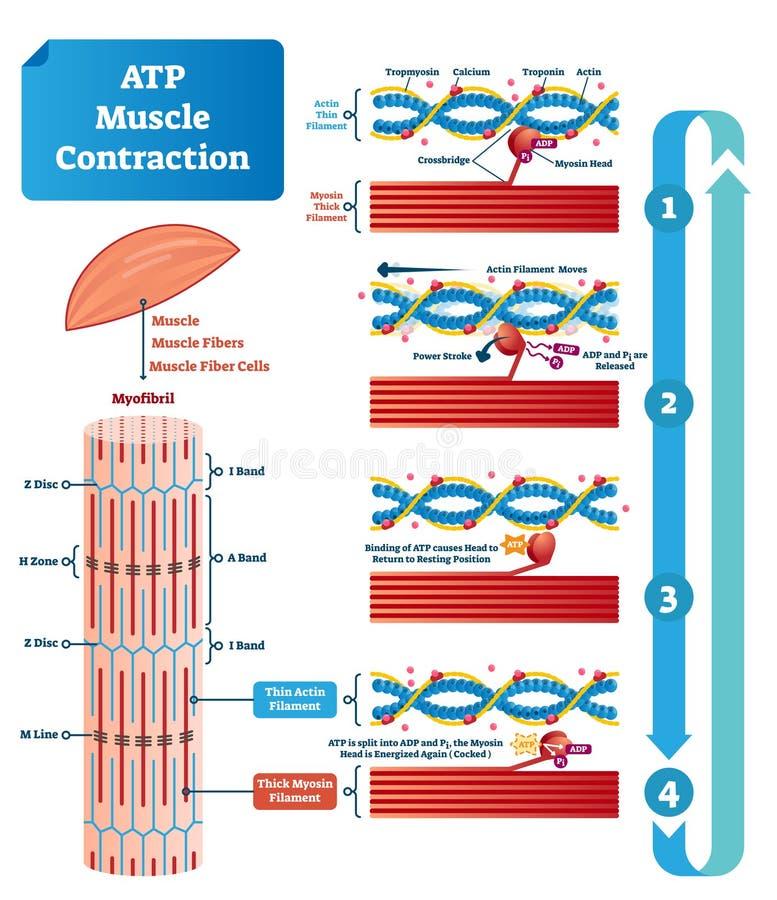 El ejemplo del vector del ciclo de la contracción del músculo del ATP etiquetó esquema educativo stock de ilustración