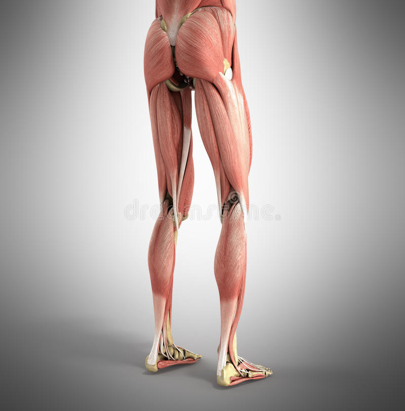 El ejemplo exacto médico de los músculos 3d de la pierna rinde en GR ilustración del vector