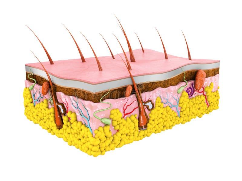 El ejemplo humano de la anatomía 3d de la piel aisló el fondo blanco libre illustration