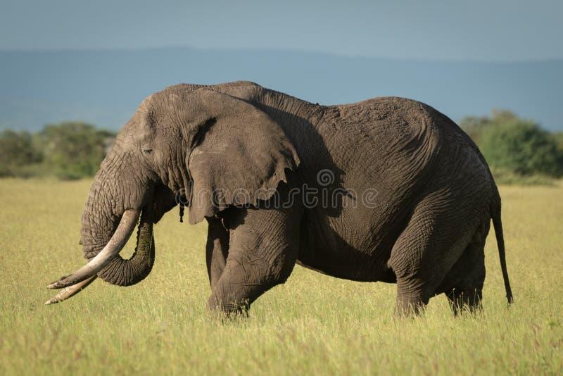 El elefante africano del arbusto se coloca en hierba alta imagenes de archivo