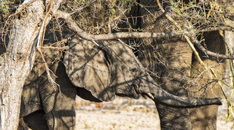 El elefante africano del bebé se coloca debajo de madre mientras que come el acacia foto de archivo