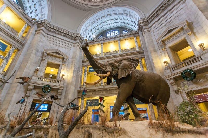El elefante africano en el museo de la historia natural en WASHINGTON DC imágenes de archivo libres de regalías
