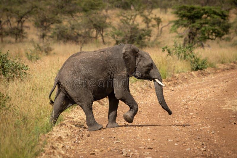 El elefante africano levanta el camino de tierra de la travesía del pie fotos de archivo