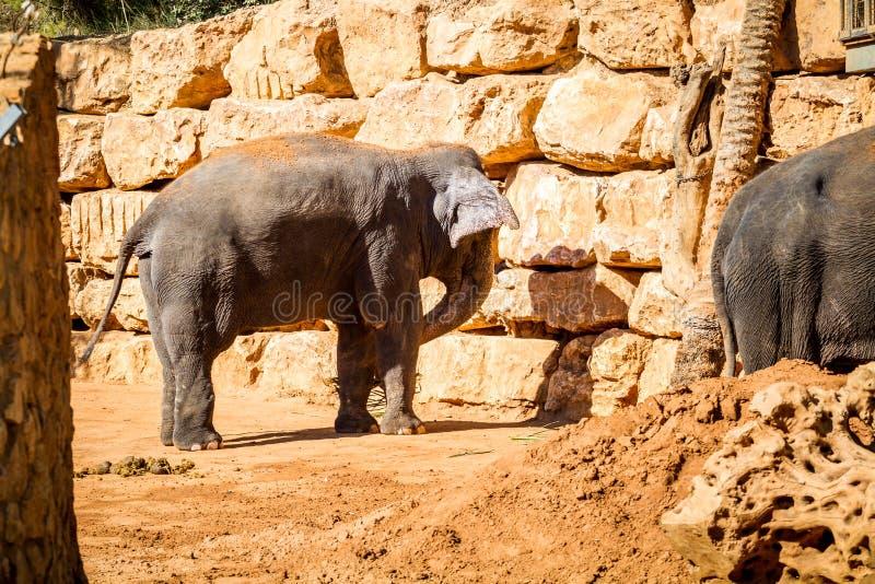 El elefante asiático, parque zoológico bíblico de Jerusalén en Israel imagen de archivo libre de regalías