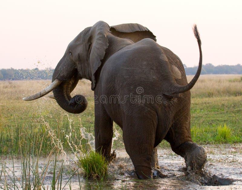 El elefante corre lejos zambia Baje el parque nacional del Zambeze El río Zambezi imagen de archivo libre de regalías