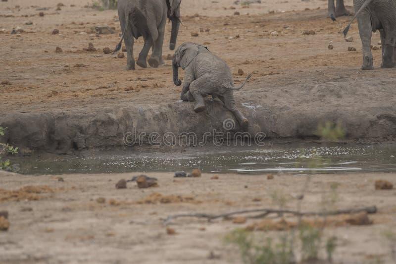 El elefante del bebé, Loxodonta Africana, lucha para subir fuera de wat foto de archivo