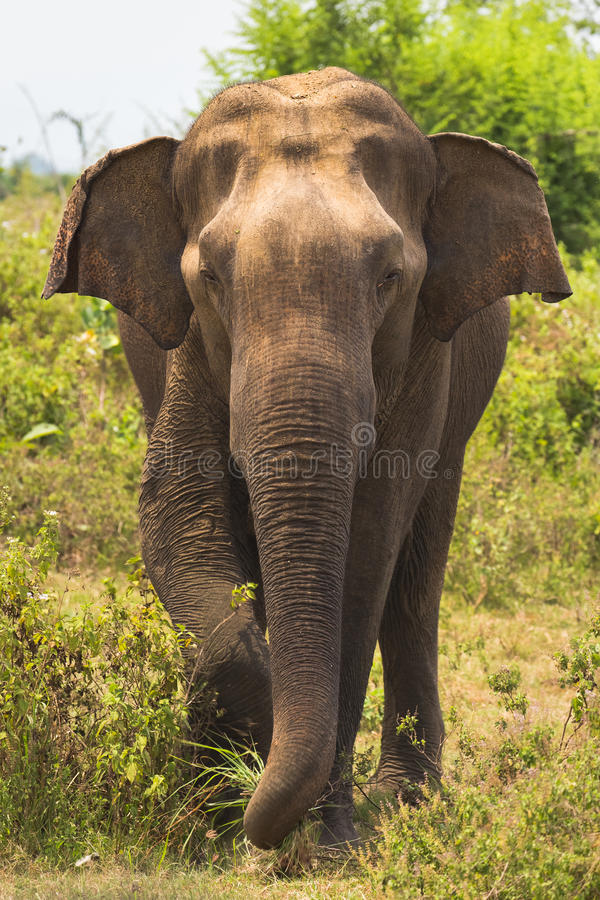 El elefante se coloca en frente foto de archivo libre de regalías