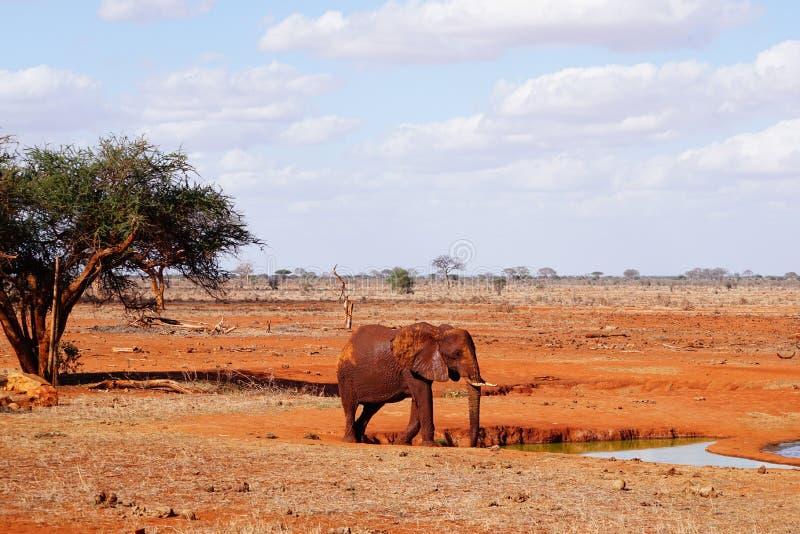 El elefante se coloca en el waterhole de Tsavo del este imágenes de archivo libres de regalías