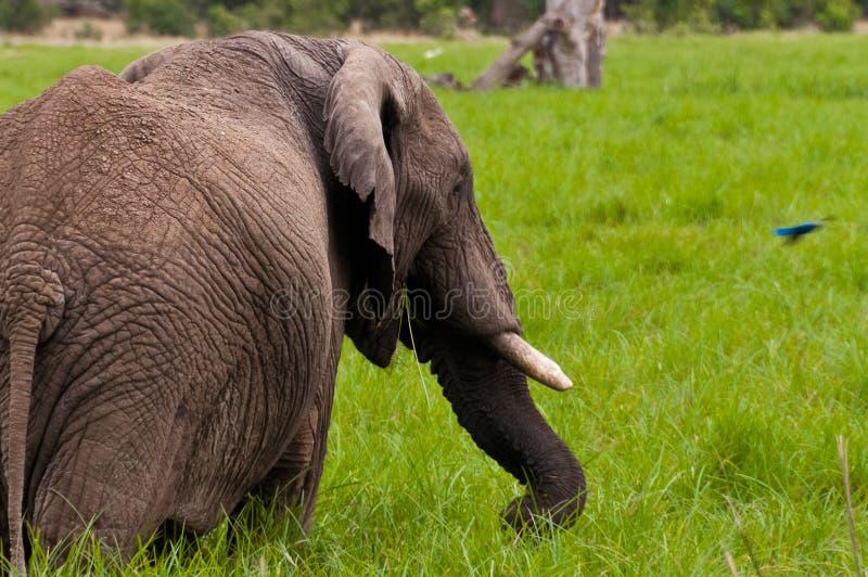 El elefante y el Starling imagen de archivo libre de regalías