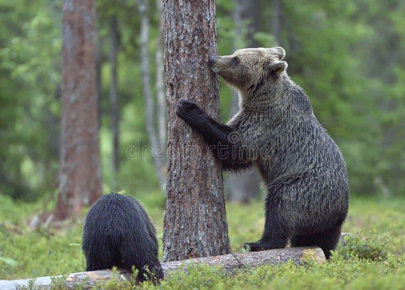 El Ella-oso y el Cub del oso de Brown (Ursus Arctos) que se colocan en piernas más traseras en el bosque del verano foto de archivo