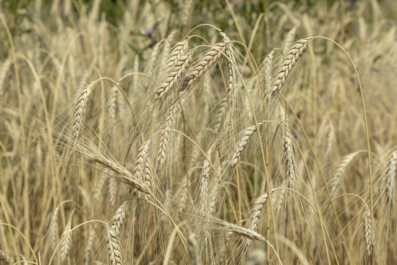 El emmer del maíz crece en el campo imagen de archivo libre de regalías