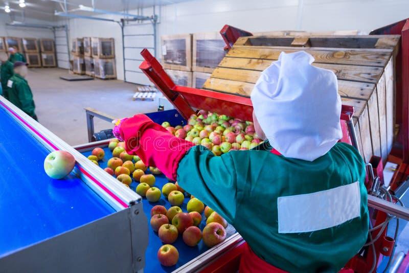 El empleado clasifica las manzanas maduras frescas en la línea de clasificación RRPP fotos de archivo