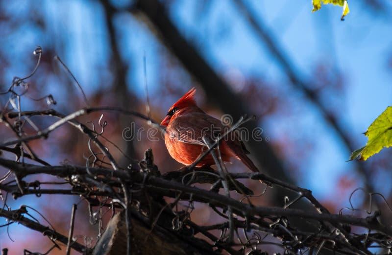 El encaramarse cardinal del pájaro fotografía de archivo libre de regalías