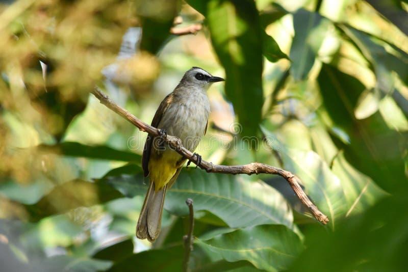 el encaramarse más goiavier Amarillo-expresado de Pycnonotus del Bulbul en rama del mango con verde deja el fondo imagen de archivo libre de regalías