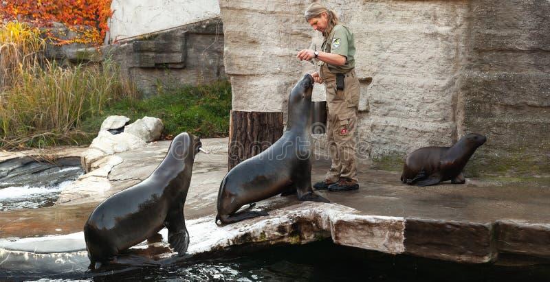 El encargado de parque zoológico del parque zoológico de Viena alimenta leones marinos foto de archivo libre de regalías